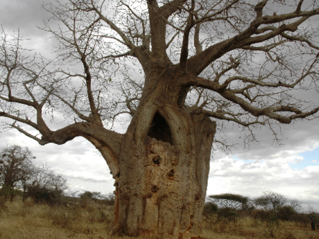 The Sniper Tree near Voyager Ziwani Camp.  Photo Courtesy of The Star