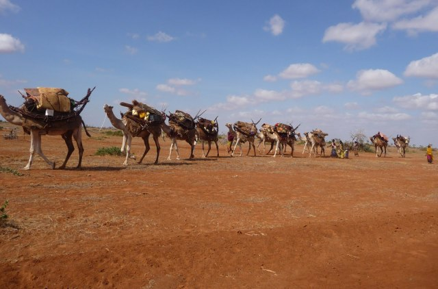 View of camels trekking near Wajir Town. Photo Courtesy of Count Online