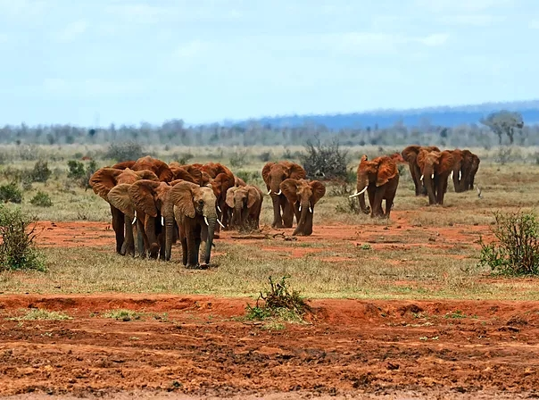 'Red Elephants' in Tsavo East National Park. Image Courtesy of BigStock