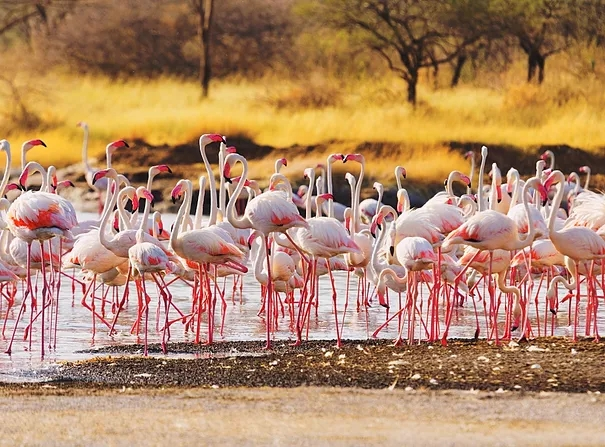 Close up views of flamingos at Lake Baringo.  It is located 30 kms north of Lake Bogoria