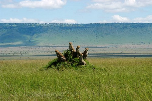 View of cheetah family with Siria Escarpment in the background.  Photo Courtesy of Kimojino