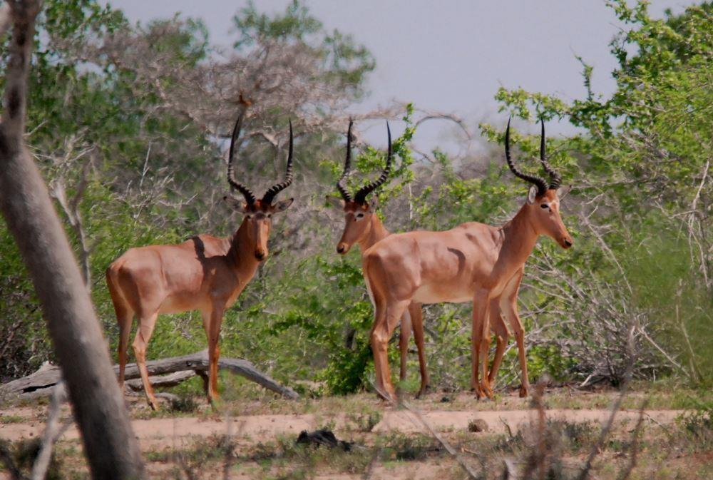View of Hirola or Hunter's Hartebeest in Garissa.  Photo Courtesy of Juliet King