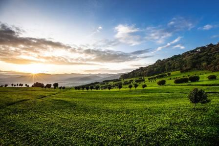 View in Changoi Tea Estate.  Photo courtesy of Williamson Tea