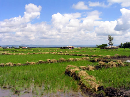 Rice paddies in Mwea Irrigation Scheme.  Photo Courtesy of Mak5 Resort