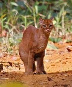 Golden Cat - A Photographic Gallery of Wildlife in Kenya