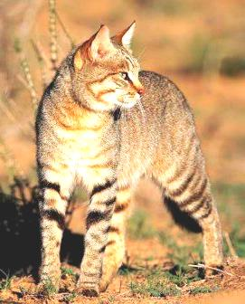 Wild Cat - A Photographic Gallery of Wildlife in Kenya