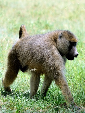 Baboons - A Photographic Gallery of Wildlife in Kenya
