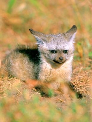 Bat-eared Fox - A Photographic Gallery of Wildlife in Kenya