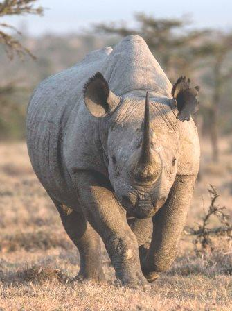 Black Rhinoceros - Big Game in Kenya