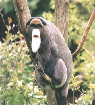 Brazza's Monkey - A Photographic Gallery of Wildlife in Kenya