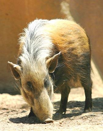 Bush pig - Big Game in Kenya