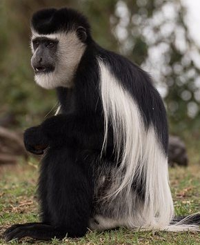 Black and White Colobus - A Photographic Gallery of Wildlife in Kenya