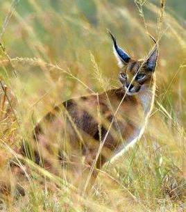 Caracal - A Photographic Gallery of Wildlife in Kenya