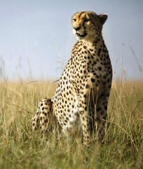 Cheetah - A Photographic Gallery of Wildlife in Kenya