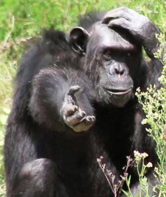 Chimpanzee - A Photographic Gallery of Wildlife in Kenya