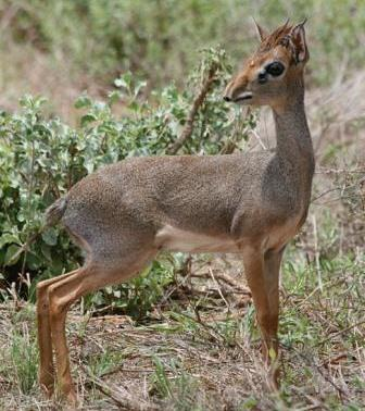 Dik Dik - A Photographic Gallery of Wildlife in Kenya