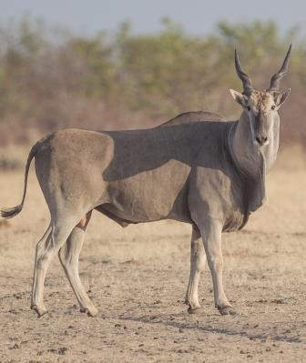 Eland - A Photographic Gallery of Wildlife in Kenya