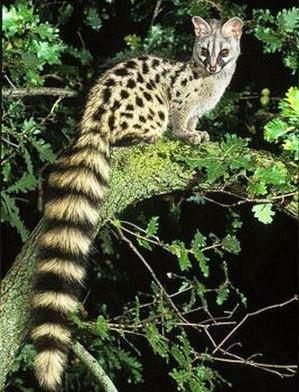 Genet - A Photographic Gallery of Wildlife in Kenya