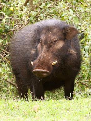 Giant forest hog - Big Game in Kenya