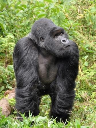 Mountain Gorilla - A Photographic Gallery of Wildlife in Kenya