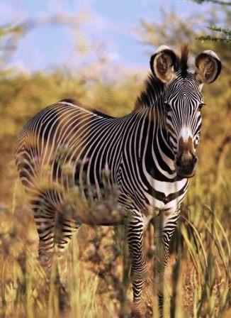 Grevy's zebra - Big Game in Kenya