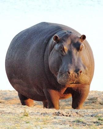 Hippopotamus - Big Game in Kenya