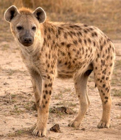 Hyena - A Photographic Gallery of Wildlife in Kenya