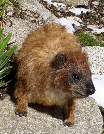 Hyrax - The Small Mammals