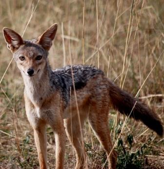 Jackal - A Photographic Gallery of Wildlife in Kenya