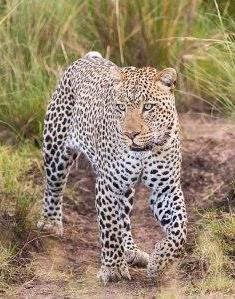 Leopard - A Photographic Gallery of Wildlife in Kenya