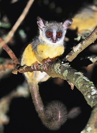 Lesser Bush Baby - The Small Mammals