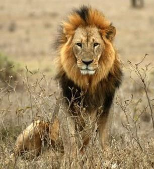 Lion - A Photographic Gallery of Wildlife in Kenya