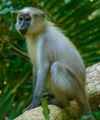Mangabey Monkey - A Photographic Gallery of Wildlife in Kenya
