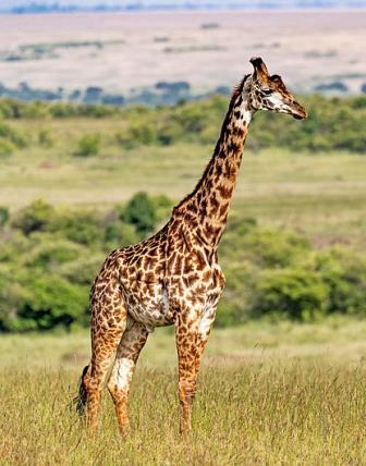 Masai Giraffe - Big Game in Kenya