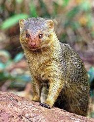 Dwarf Mongoose - The Small Mammals
