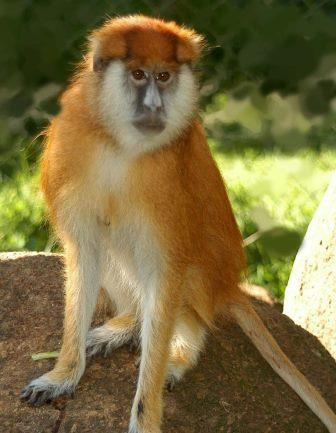 Patas Monkey - A Photographic Gallery of Wildlife in Kenya