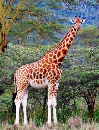 Rothchild's Giraffe - Big Game in Kenya