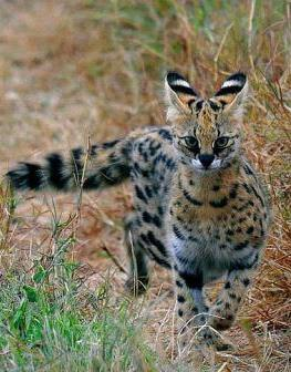 Serval - A Photographic Gallery of Wildlife in Kenya