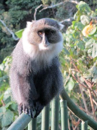 Blue or Syke's Monkey - A Photographic Gallery of Wildlife in Kenya