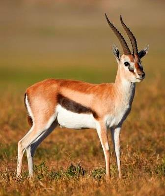 Thomson's Gazelle - A Photographic Gallery of Wildlife in Kenya