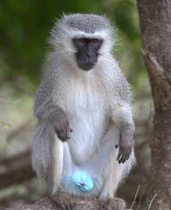 Vervet Monkey - A Photographic Gallery of Wildlife in Kenya