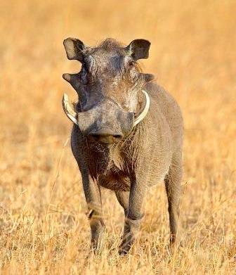 Warthog - Big Game in Kenya