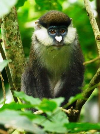 White nosed Monkey - A Photographic Gallery of Wildlife in Kenya
