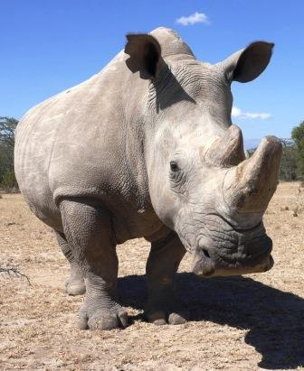 White Rhinoceros - Big Game in Kenya