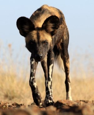 Wild or Hunting Dog - A Photographic Gallery of Wildlife in Kenya