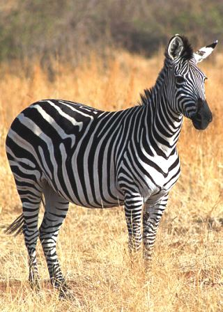 Common zebra - Big Game in Kenya