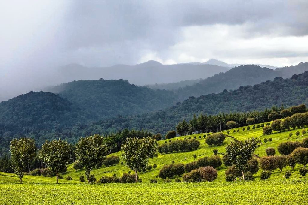 Tinderet Tea Estates with Tinderet Mountains in background.  Image Courtesy