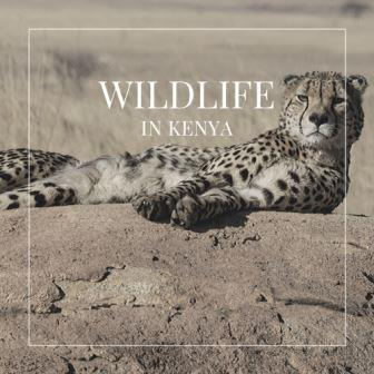A safari drive, to range over wildlife in Kenya, is an adventure everyone should experience at least once in their lifetime. At the least, a trip to these wilder neck of the woods is almost guaranteed to be adventurous and interesting.
