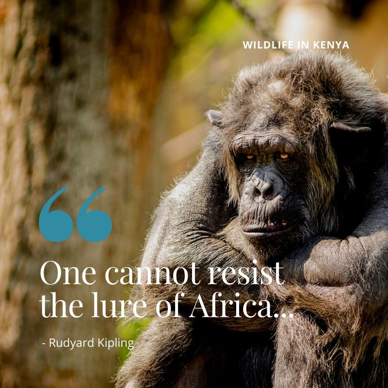"Travel Quote - "" One cannot resist the lure of Africa - Rudyard Kipling. A Guide to Wildlife in Kenya"