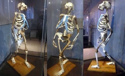 Skeleton and restoration model of Lucy (Australopithecus). The exhibit is in the National Museum of Addis Ababa. The most extensive remains assigned to the species are found in Hadar, Afar Region of Ethiopia, including the above 'Lucy'